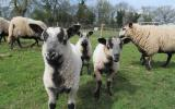 Sheep for Beginners Learn how to keep sheep at Humble by Nature Kate Humble's farm Monmouth South Wales