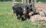 Learn to keep pigs on Pigs for beginners Course with Bob Stevenson at Kate Humble's Farm Humble By Nature South Wales