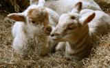 Learn how to lamb pregnant ewes on Lambing Course at Humble by Nature Kate Humble's Farm in Monmouth, South Wales