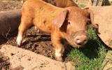 Learn to keep look after pigs on Pigs for beginners Course with Bob Stevenson at Kate Humble's Farm Humble By Nature South Wales