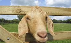 Learn to keep goats with Lizzie Dyer Just Kidding Cotwold Kid Meat