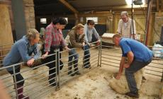 Learn How to Shear Sheep Course at Kate Humble's Farm Humble By Nature