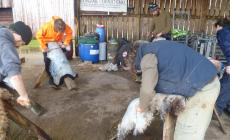 Learn how to make a sheep skin rug at Kate Humble's Farm in Monmouthshire, Humble by Nature
