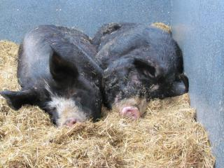 An Introduction to Keeping Pigs Course at Kate Humble's Farm Humble By Nature