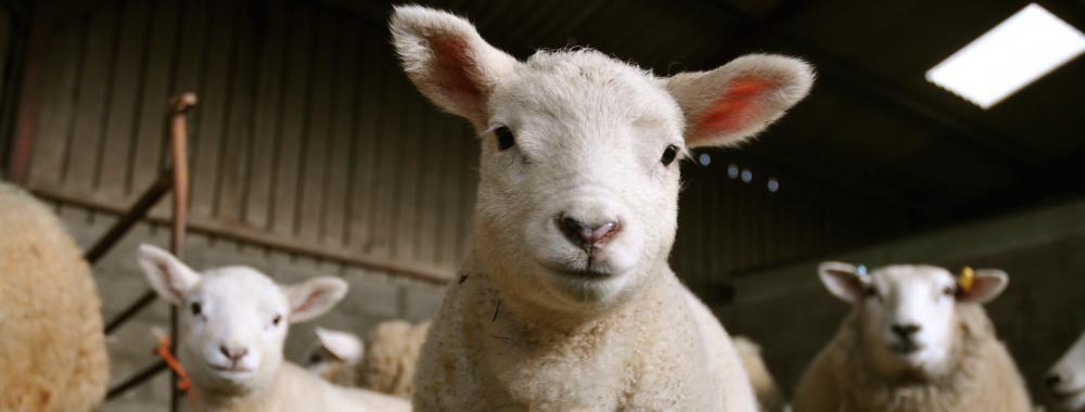 Lambing at Kate Humble's farm Humble by Nature Monmouth South Wales
