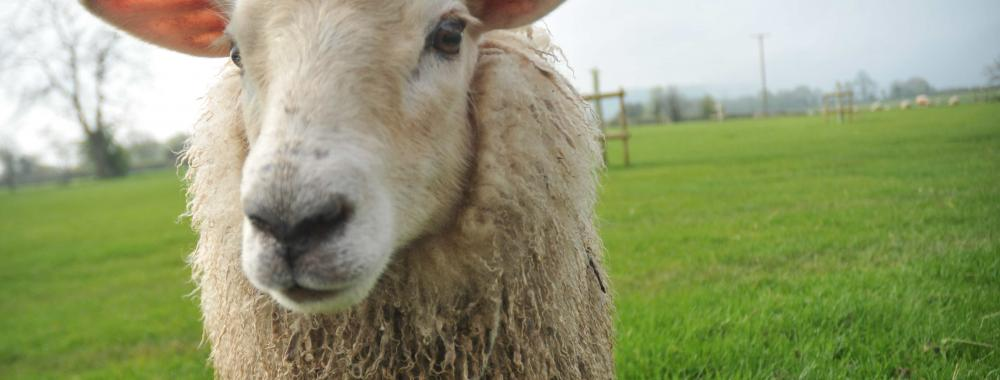 Learn how to keep sheep on a smallholding at Humble by Nature Kate Humble's farm in Monmouth South Wales