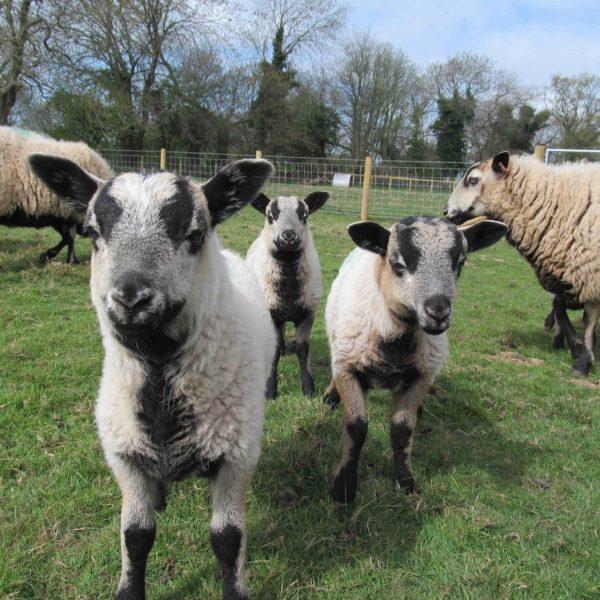 Badger faced lambs