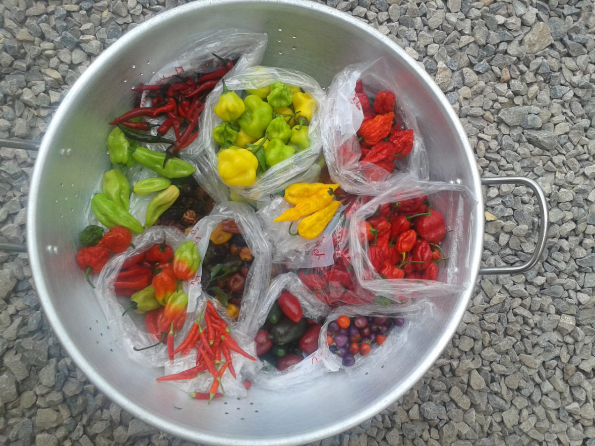 Chillies grown in the aquaponics greenhouse at Humble by Nature