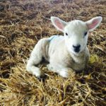 Lambing with Kate Humble at Humble by Nature