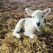 lamb-sitting