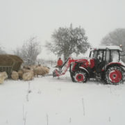 Farmer Tim feeding the sheep in the snow