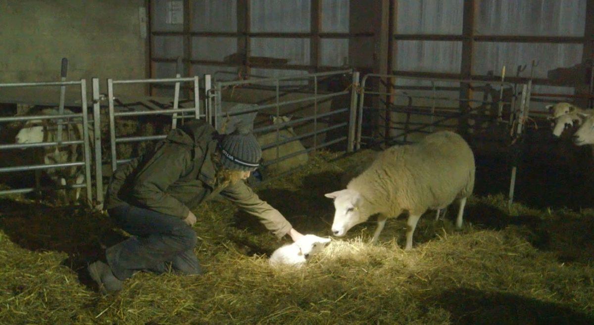 Kate Humble Lambing Live