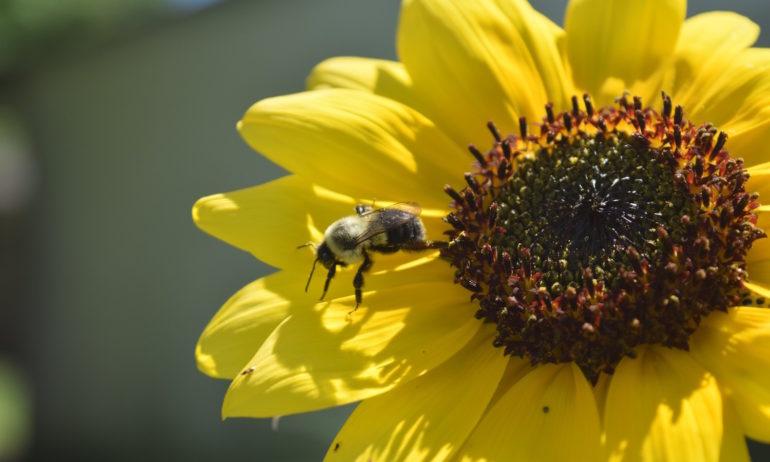 Bee on petal