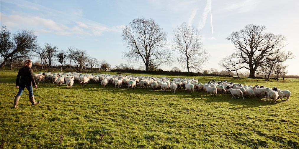 Kate Humble and Teg herding sheep at Humble by Nature